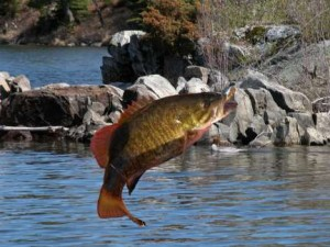 smallmouth bass jumping1 300x225 Great resource  for the CT. fly angler searching for many different species.